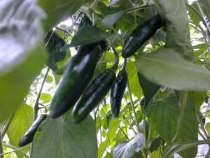 Frühe Serrano-Chilis